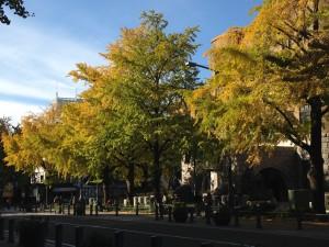 横浜の日本大通りの黄金のイチョウ並木散歩