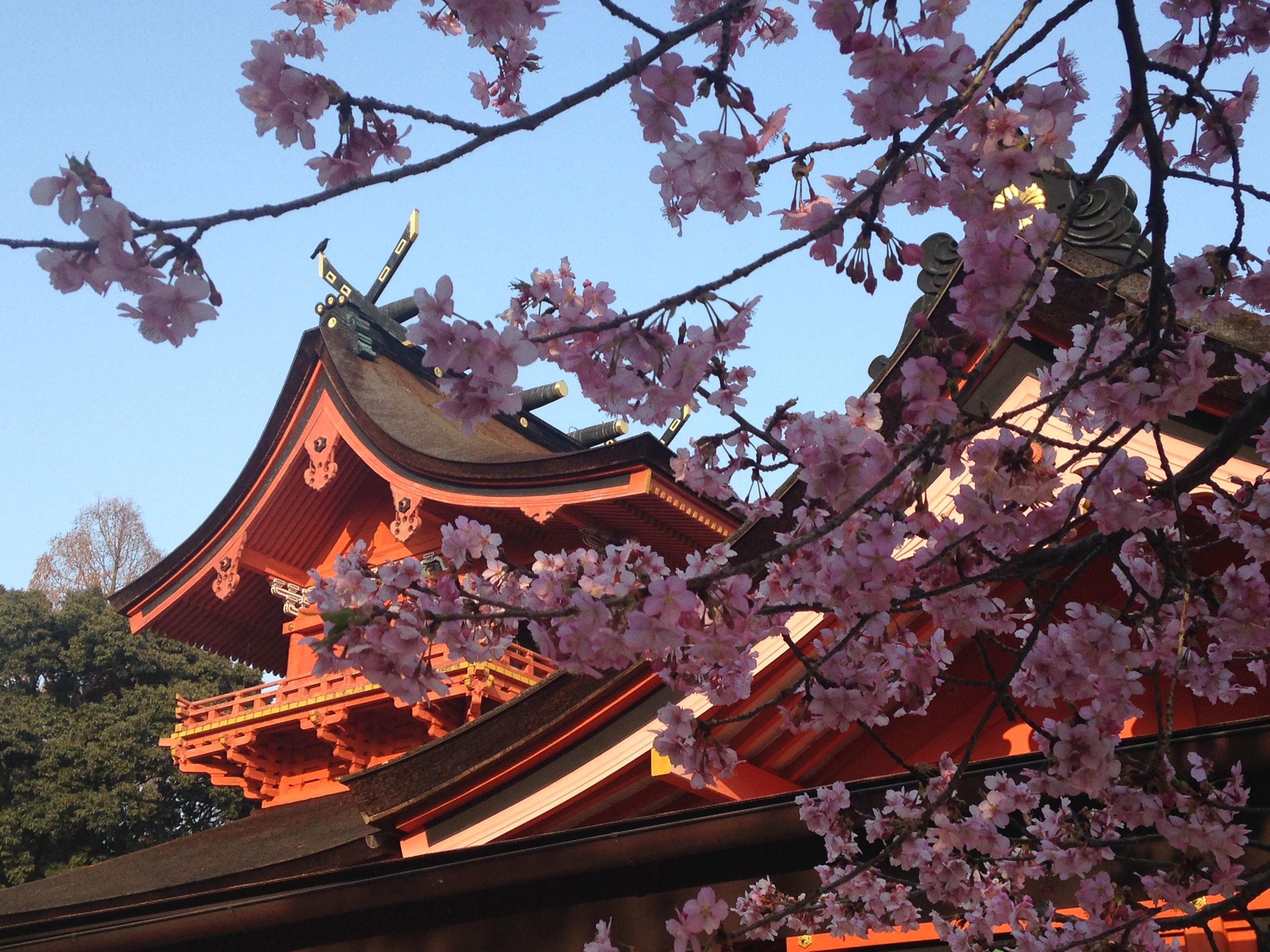富士山本宮浅間大社は桜の名所でもあります。