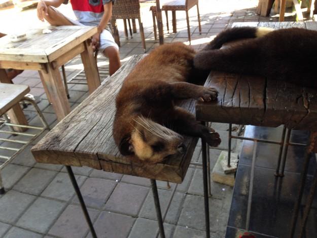 タナロット寺院で寝る、ジャコウネコくん