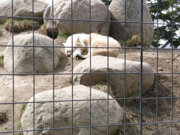 旭山動物園のニホンオオカミ。ここでしかみられない日本の固有種。冬に遠吠えを聞きたい。