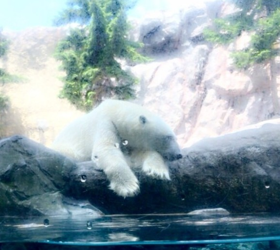 旭山動物園のしろくまはみんなに見られても幸せ。こんなに近くみれるよ。