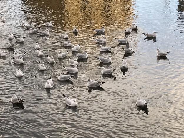 海のカモメが湧玉池から流れ出るこの川へ、餌のおじさんを求めてやってくる。