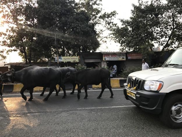 牛と車、一緒に移動