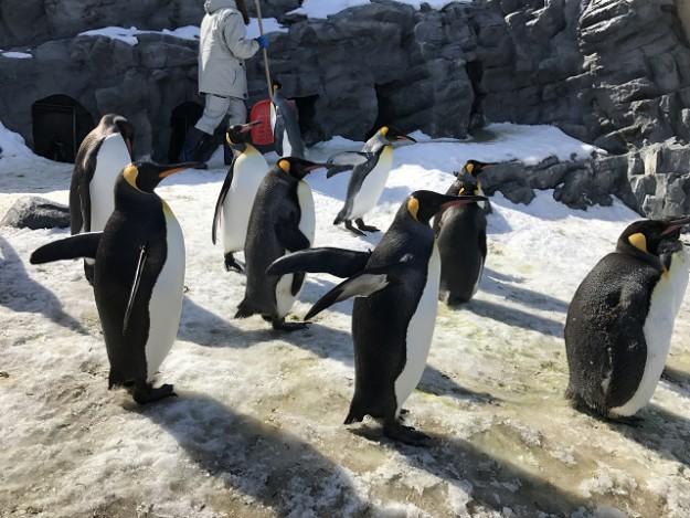 散歩に行きたいアピールがすごい~。歩きたいペンギンが集まってくる
