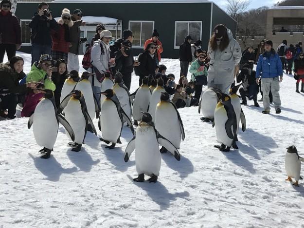 ペンギンたち。楽しそうに歩いてきます。人がいてもへっちゃら。