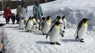 冬の旭山動物園の一大イベント、ペンギンのお散歩!
