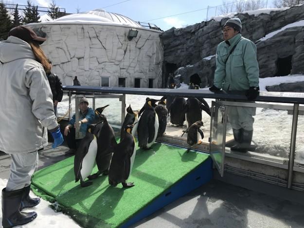 旭山動物園 ペンギンのお散歩 小一時間あるいてようやくゴール!お疲れ様でした。