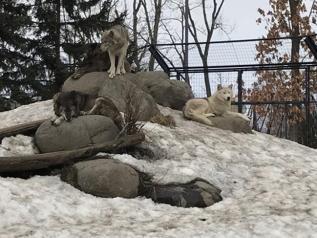 暖かくなると寝てばかりのオオカミ。冬シーズンは元気!