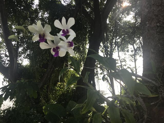 可憐な野生の蘭の花。木に寄生して咲いています。