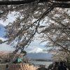 富士五湖でニッポンのお花見を楽しもう