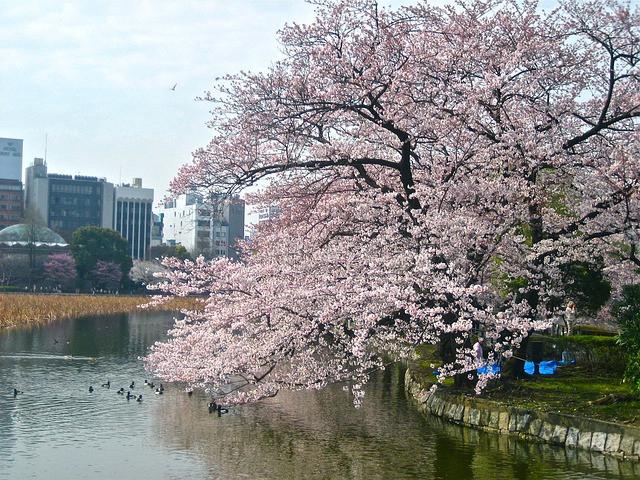皇居といえば、お堀の桜。千鳥ヶ淵、お堀沿いに咲き乱れる光景はあまりにも有名です。